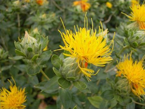 Gelbe Färberdistel (Saflor)